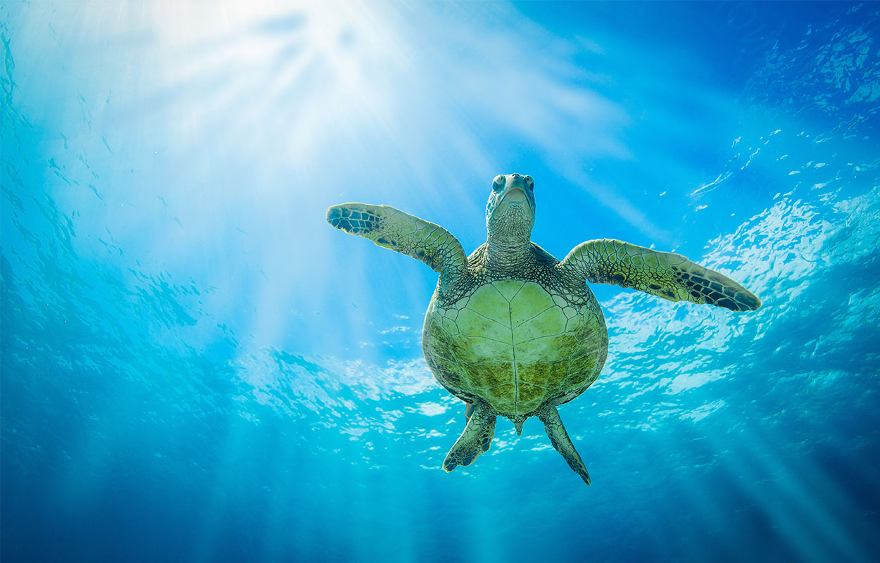 Maui green sea turtle swimming in the blue ocean.